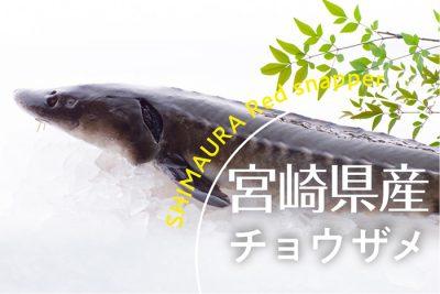 宮崎県産チョウザメ